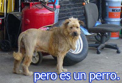 Perro mejicano con peinado de leon
